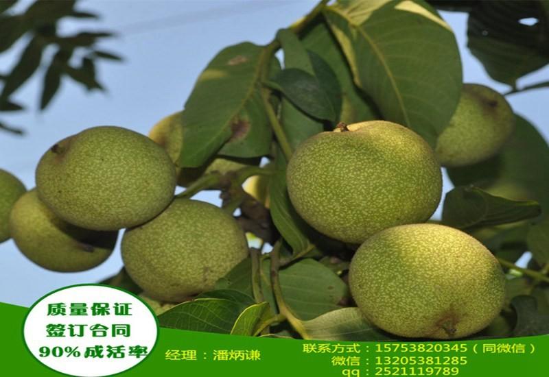 123公分新疆核桃树苗大型繁育基地超低价格