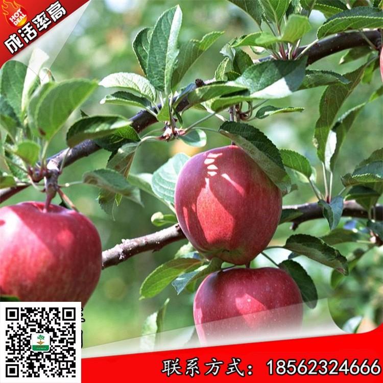 烟富0号苹果树小苗介绍