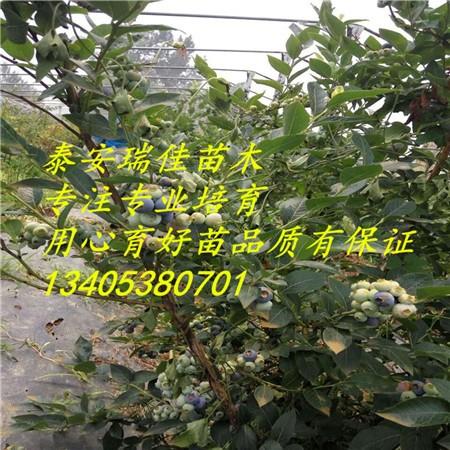 13405380701授粉树&nbsp蓝莓对授粉树的要求不像有些大果树那样严格